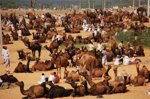 Camel Fair Rajasthan
